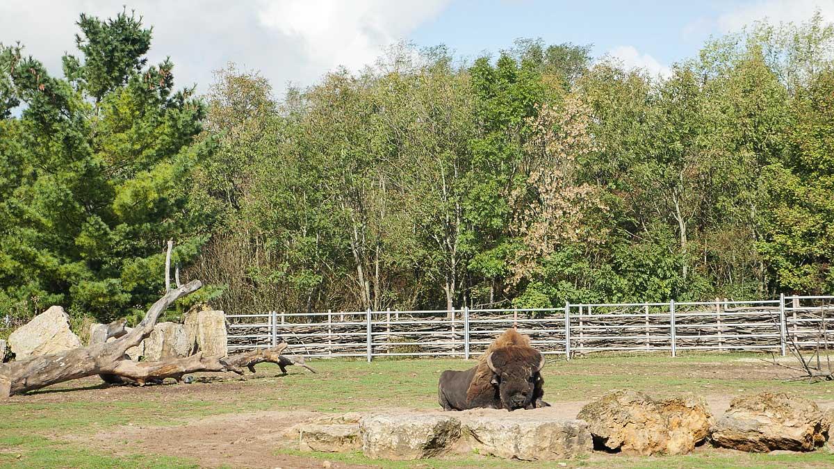 Ein Bison im Freigehege - Zoopark Erfurt